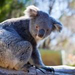 os portugueses gostam dos koalas