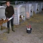 trabalhar com gado bovino na holanda
