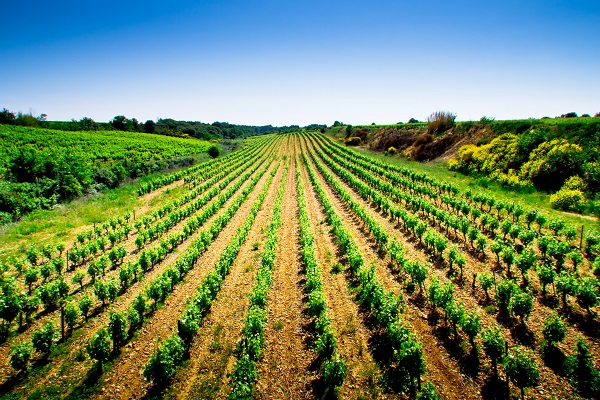 Vignes Costières