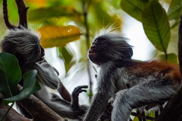 vidaedu voluntariado jozani forest tanzania zanzibar